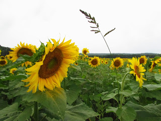 Our Visit To Sunflower Maze Sussex County Destinations