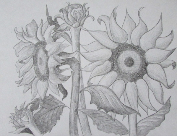 How To Draw Sunflowers