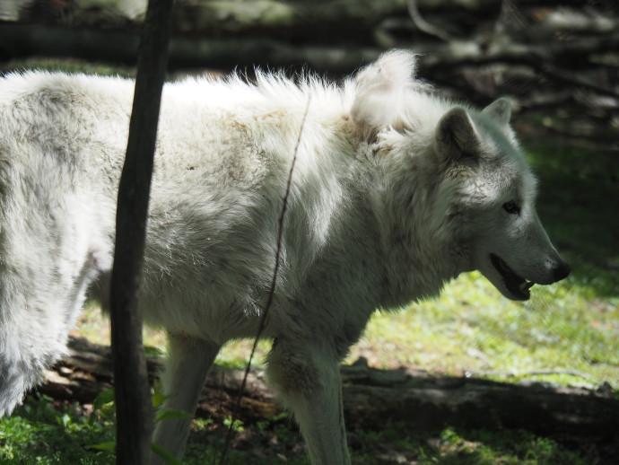 Our Visit to Lakota Wolf Preserve