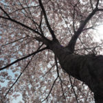 Bound Brook Park Cherry Blossom