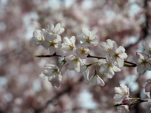 Bound Brook Park Cherry Blossom
